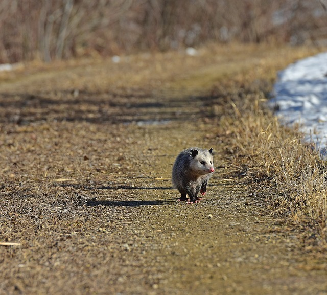 A rodent standing on a dry grass field