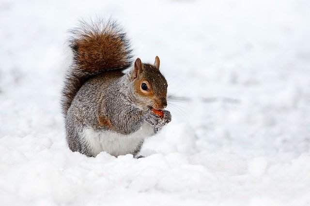 A squirrel standing on snow